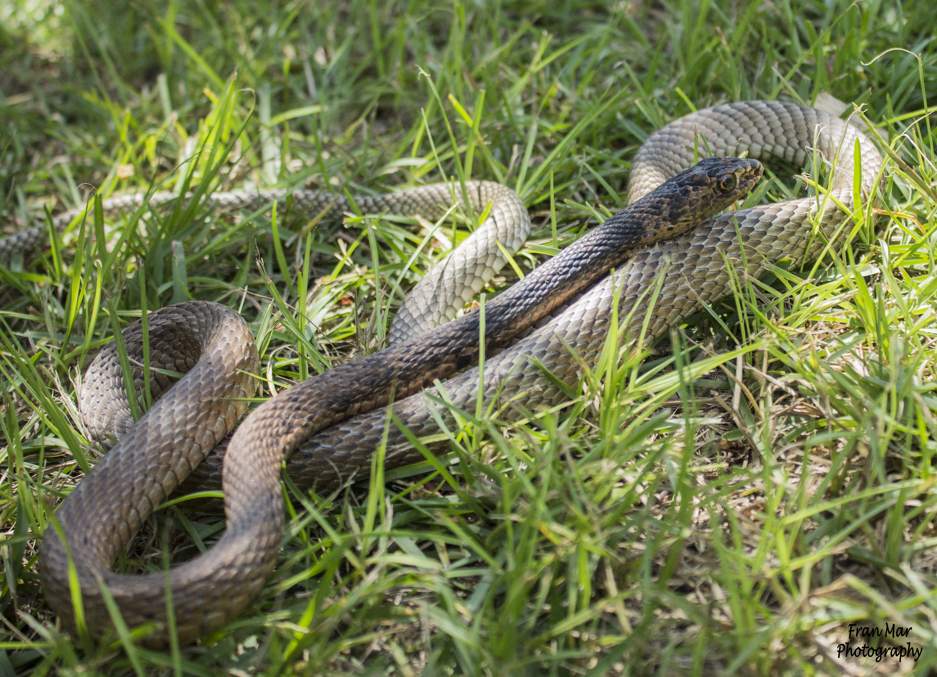 racer and coachwhip these days 004